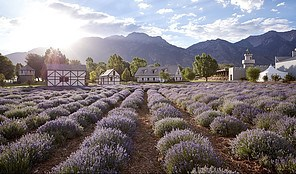 How To Make Money With Young Living Young Living Lavender Essential Oil